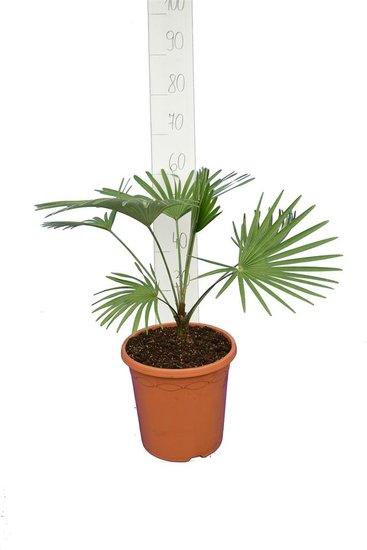 Trachycarpus princeps blue-silver total hoogte 50-70 cm