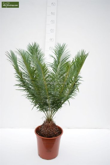 Cycas panzhihuaensis Ø 28 cm pot - totale hoogte 80-100 cm