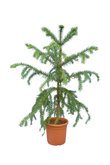 Araucaria angustifolia totale hoogte 120-140 cm