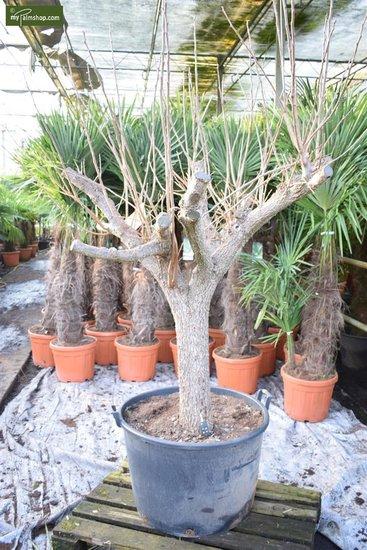 Diospyros kaki totale hoogte 250+ cm