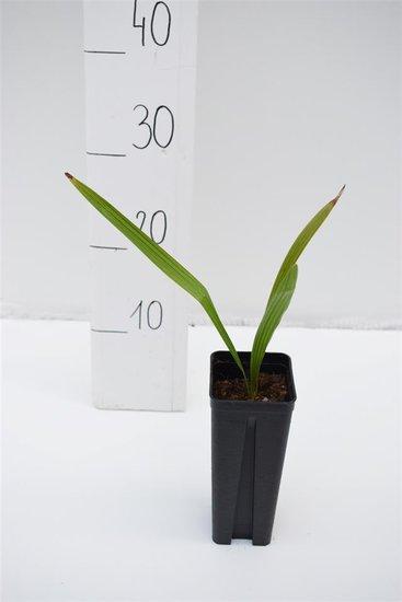 Trachycarpus wagnerianus x nanus 0.7 ltr