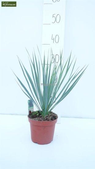 Yucca rostrata totale hoogte 30-40 cm