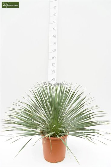 Yucca rostrata totale hoogte 70-90 cm