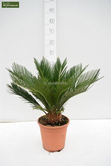 Cycas revoluta Ø 24 cm pot - totale hoogte 55-65 cm