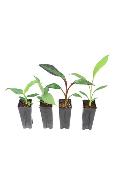 Musa pakket 0,7 ltr (Musa basjoo, Musa sikkimensis Red Tiger, Musella lasiocarpa, Ensete maurelli)