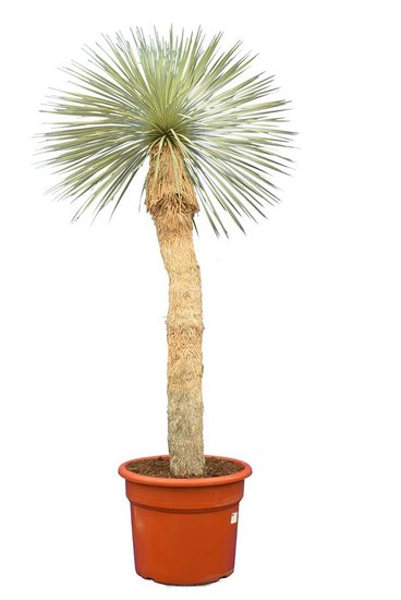 Yucca rostrata stam 60-80 cm [pallet]