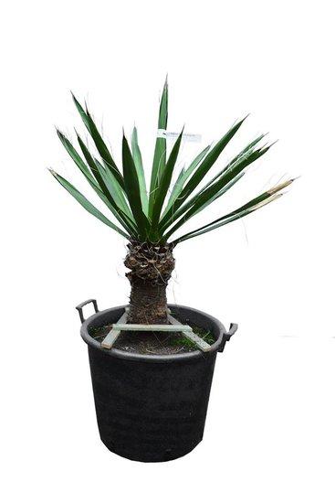 Yucca carnerosana stam 30-40 cm [pallet]
