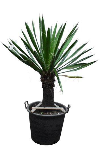 Yucca carnerosana stam 40-50 cm [pallet]