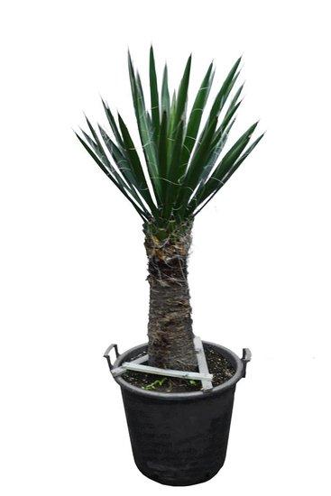 Yucca carnerosana stam 50-60 cm [pallet]