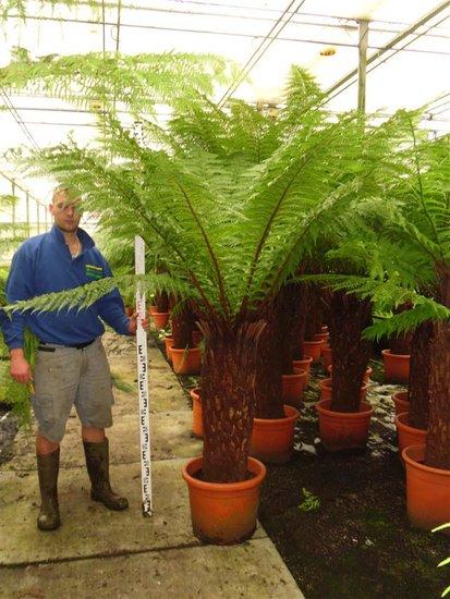 Dicksonia antarctica stam 120-130 cm [pallet]