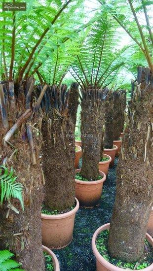Dicksonia antarctica stam 130-150cm - totale hoogte 270+ cm [pallet]
