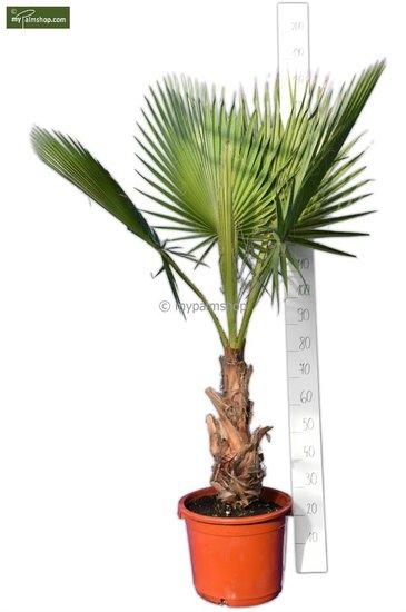 Washingtonia robusta stam 40+ cm - pot 40 Ø cm - totale hoogte 160-180 cm [pallet]