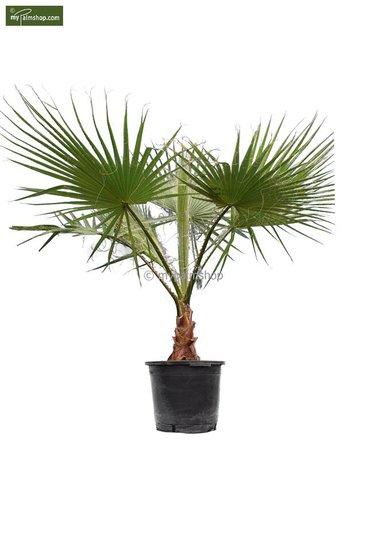 Washingtonia robusta stam 30+ cm - pot Ø 45 cm - totale hoogte 160+ cm [pallet]