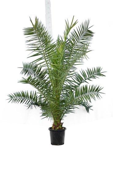 Phoenix canariensis totale hoogte 200+ cm - pot Ø 35 cm [pallet]