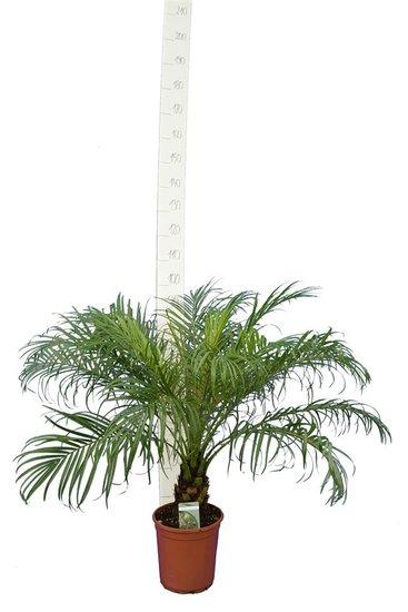 Phoenix roebelenii stam 10-20 cm