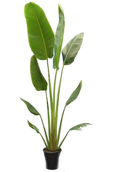 Ravenala madagascariensis pot Ø 25 cm [pallet]