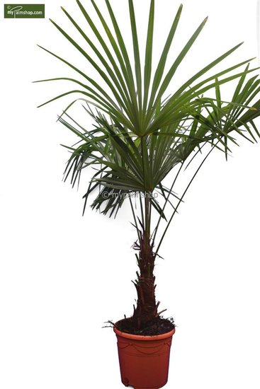 Trachycarpus sp. Kumaon stam 30-40 cm - totale hoogte 170-190 cm [pallet]