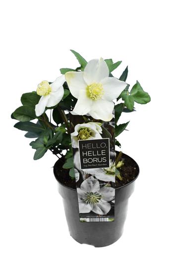 Helleborus niger Christmas Carol pot Ø 15 cm