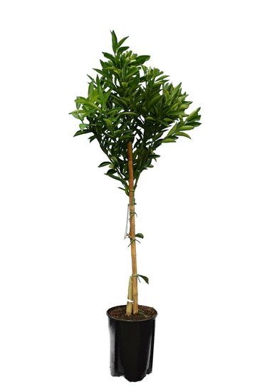 Citrus reticulata - totale hoogte 140-160 cm - Ø 26 cm pot