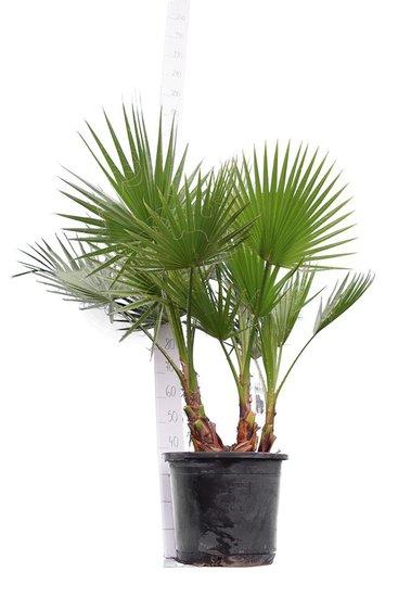 Washingtonia robusta Multistam pot Ø 45 cm - totale hoogte 140-160 cm [pallet]