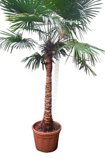 Trachycarpus fortunei Stripped trunk stam 100-120 cm [pallet]