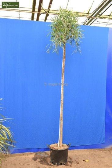 Acacia dealbata totale hoogte 200+ cm [pallet]