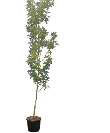 Acacia dealbata pot Ø 33 cm [pallet]