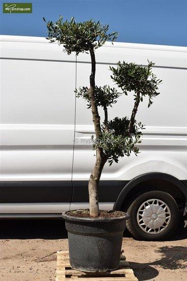 Olea europaea Bonsai pot Ø 55 cm [pallet]