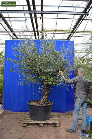 Olea europaea Bonsai pot Ø 95 cm [pallet]