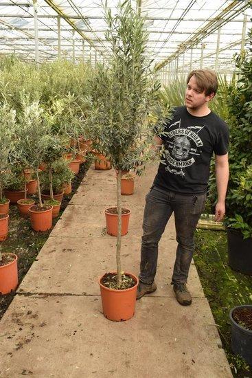 Olea europaea wilde vorm stamhoogte 100+ cm [pallet]