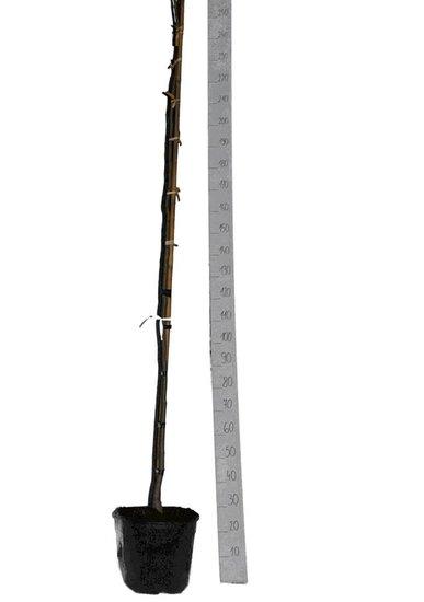 Albizia julibrissin Ombrella pot Ø 33 cm [pallet]