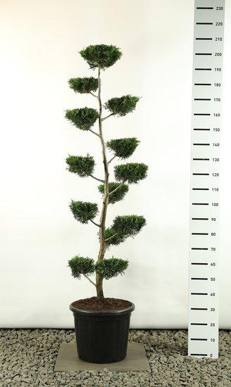 Cupressocyparis leylandii multiplateau vlak - totale hoogte 170-200 cm [pallet]