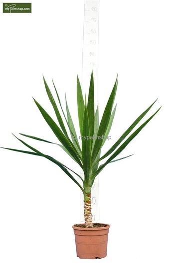 Yucca Elegans totale hoogte 80-100 cm - stam 10-20 cm - pot Ø 20 cm