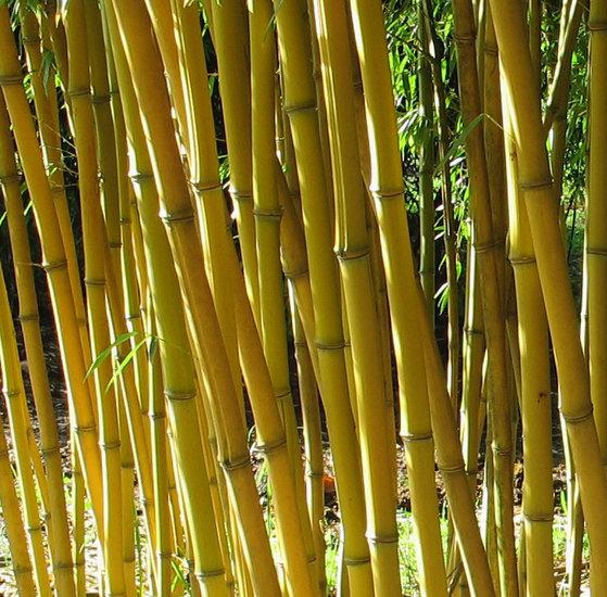 Phyllostachys aureosulcata Aureocaulis - totale hoogte 100-140 cm - 2 ltr pot