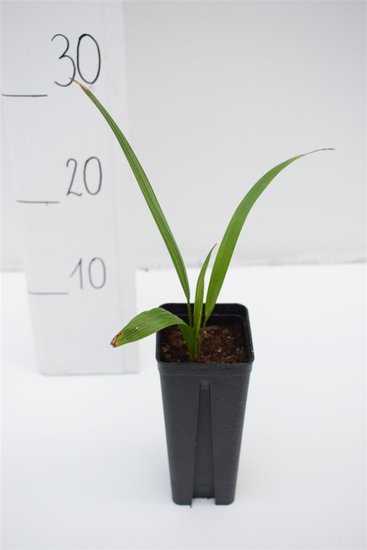 Trachycarpus wagnerianus x naggy 0.7 ltr
