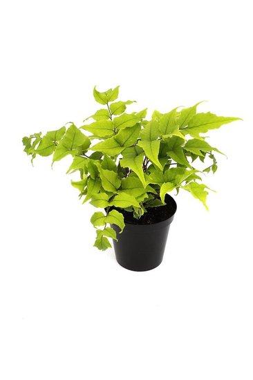 Cyrtomium fortunei clivicola 0.7 ltr