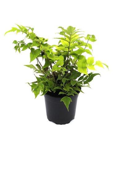 Cyrtomium fortunei clivicola 2 ltr