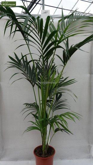 Howea Forsteriana totaal hoogte 160-180 cm - pot Ø 24 cm