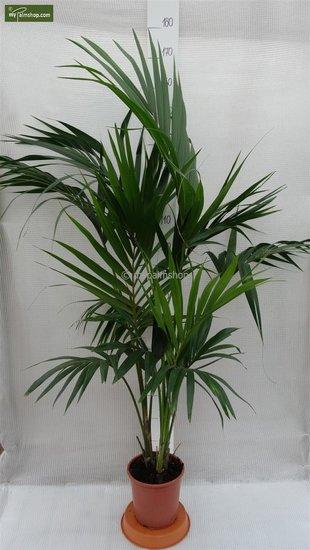 Howea Forsteriana totale hoogte 130-150 cm