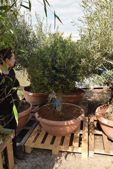 Olea europaea Bol op stam stamhoogte 60-80 cm stamomtrek 35-45 cm [pallet]