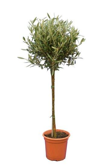 Olea europaea Bol op stam stamhoogte 60-80 cm stamomtrek 8-12 cm