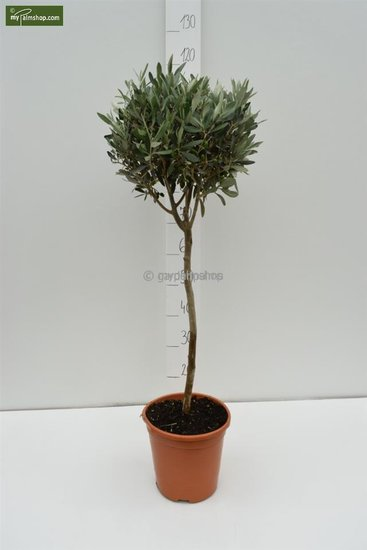 Olea europaea Bol op stam stam 80-90 totale hoogte 140-160 cm