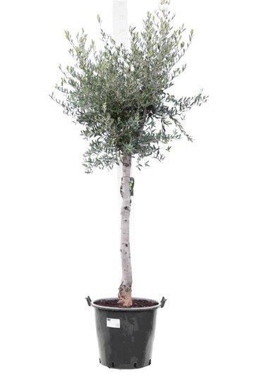Olea europaea wilde vorm stamhoogte 70+ cm stamomtrek 18-22 cm [pallet]
