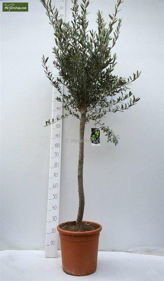 Olea europaea wilde vorm stamhoogte 80-90 cm totaalhoogte 200+ cm [pallet]