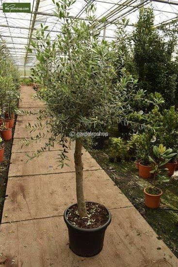 Olea europaea wilde vorm stamhoogte 40-50 cm stamomtrek 25-30 cm [pallet]