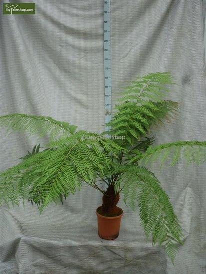 Dicksonia antarctica stam 20-30 cm