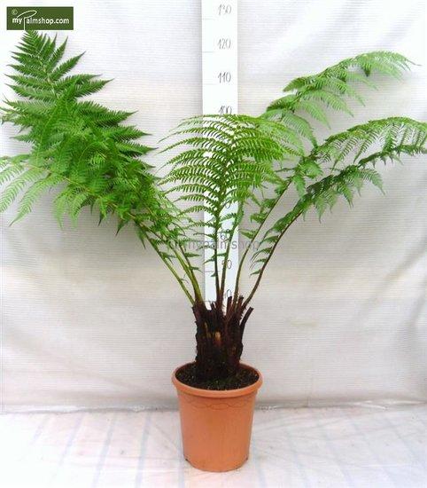 Dicksonia antarctica - stam 15-20 cm - totale hoogte 80-100 cm - pot Ø 26 cm