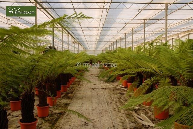 Dicksonia antarctica stam 50-60 cm [pallet]