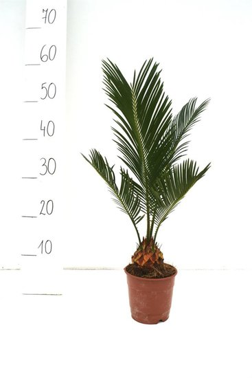 Cycas revoluta Ø 12 cm pot - totale hoogte 35-45 cm