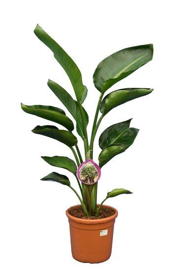 Strelitzia nicolai totale hoogte 100-120 cm - 2 planten per pot